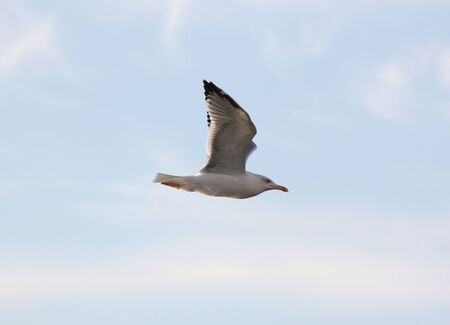 seagull flying in a sky photo