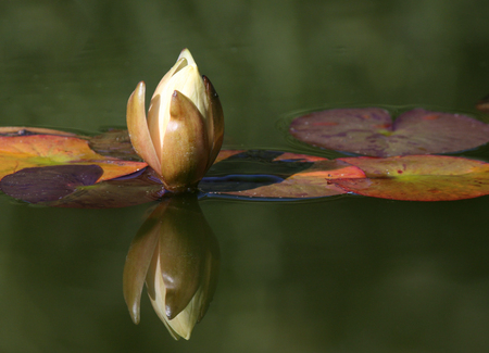 water lily reflected in a water of pond photo