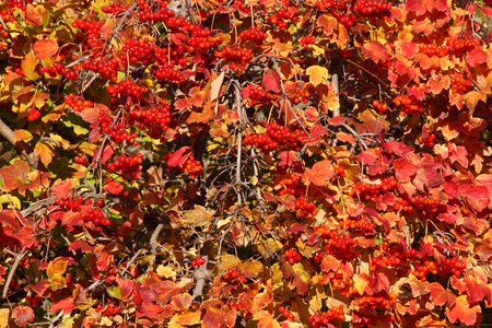 guelder rose berry: close up of bush of viburnum
