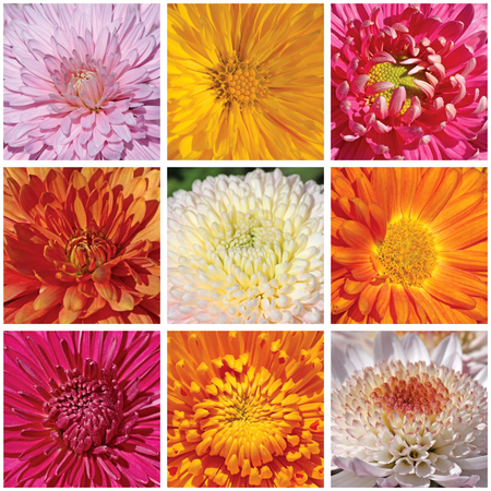 collage with macro photos of chrysanthemums photo