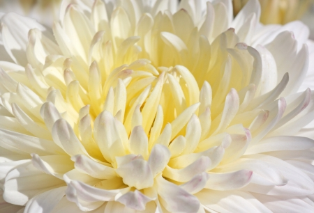 close up of white chrysanthemum photo