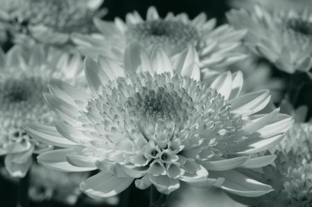 close up of chrysanthemum in duotone Stock Photo