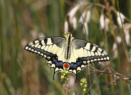 machaon: Papilio Machaon butterfly in grass