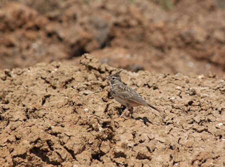 sitting on the ground: lark sitting on dry ground
