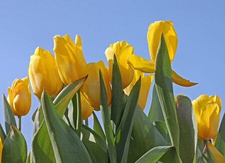 flowerbed with yellow tulips over blue sky photo