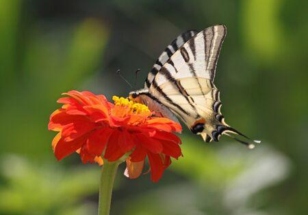 scarce: Scarce Swallowtail butterfly sitting on flower  zinnia