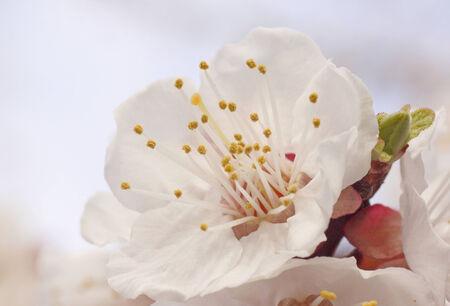 close up of apricot tree blossom photo