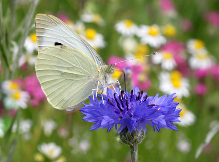 close up of white butterfly sitting on cornflower photo