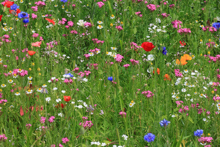 ox eye: flowers on a meadow at summer