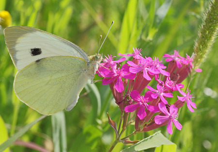 white cabbage butterfly on wild flower photo