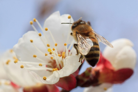 apricot tree: close up of bee on apricot tree blossom