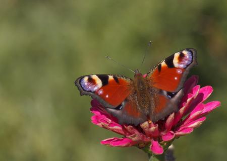peacock butterfly: European Peacock butterfly on zinnia flower