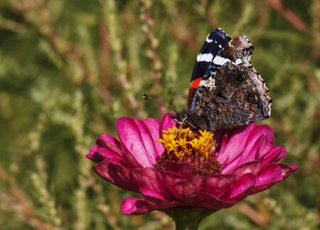 admiral: Red Admiral butterfly on zinnia flower