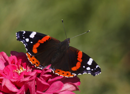 vanessa: Red Admiral butterfly on zinnia flower