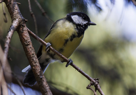 tomtit: tomtit on branch of pine tree Stock Photo