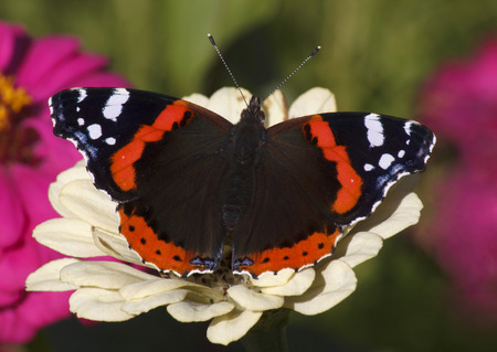 admiral: Red Admiral butterfly on white zinnia flower