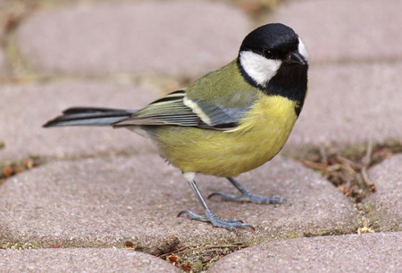 tomtit: Close up of tomtit sitting on road