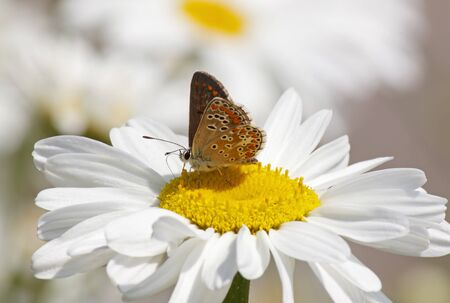lycaenidae: lycaenidae butterfly on daisy flower at summer