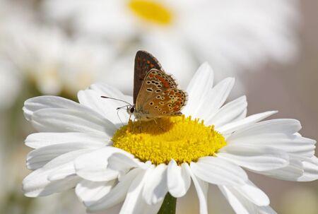 lycaenidae: lycaenidae butterfly on daisy flower at summer