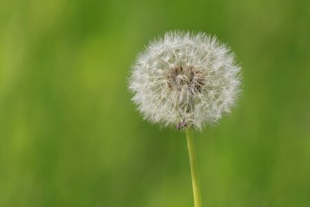 blowball: close up of blowball over green background