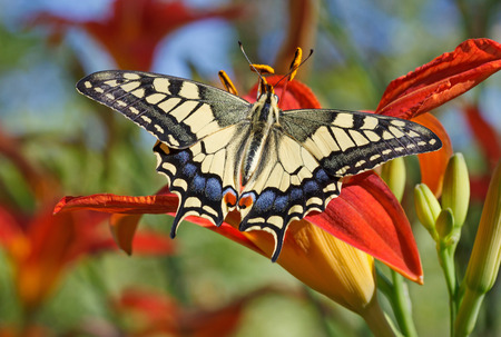 machaon: close up of Papilio Machaon butterfly sitting on flower