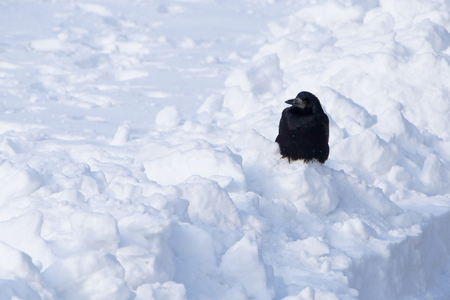 black crow sitting on snowdrift Stock Photo