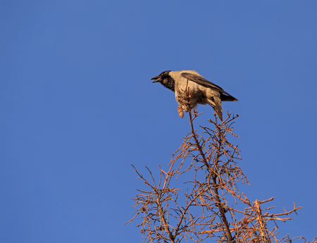 croaking: hooded crow croaking on top of tree Stock Photo