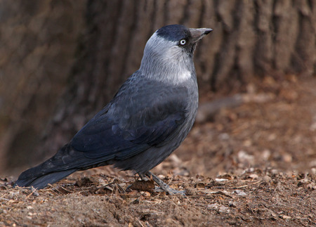 jackdaw: close up of western jackdaw on ground Stock Photo