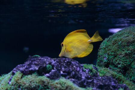 flavescens: Zebrasoma flavescens fish in aquarium Stock Photo