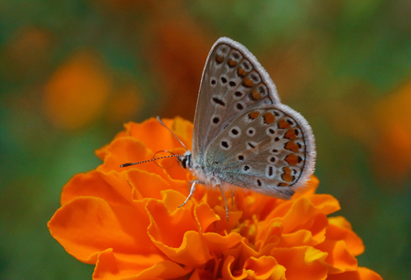 lycaenidae: close up of lycaenidae butterfly on marigold flower