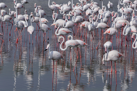 Greater flamingos in Ras Al Khor wildlife sanctuary Stock Photo
