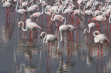 ras: flock of flamingo in Ras Al Khor wildlife sanctuary