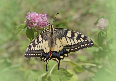 machaon: Machaon butterfly on wild flower
