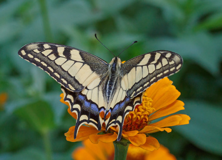 papilio: close up of Papilio Machaon butterfly on flower Stock Photo