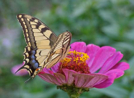 machaon: Papilio Machaon butterfly on purple zinnia flower