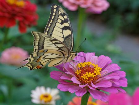 machaon: Papilio Machaon butterfly on zinnia flower Stock Photo