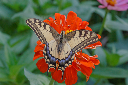 papilio: Papilio Machaon butterfly on red zinnia flower Stock Photo
