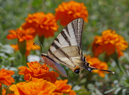 swallowtail: close up of Swallowtail butterfly on marigold
