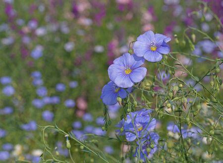linum: blue Linum flowers in garden