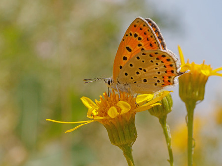 lycaena: Lesser Fiery Copper butterfly on yellow flower