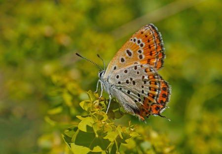 lycaena: Lesser Fiery Copper butterfly on green plant Stock Photo