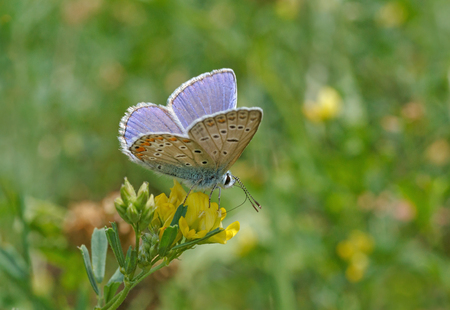 lycaenidae: blue butterfly on wild flower