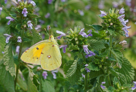 pale: pale clouded yellow butterfly on wild flower