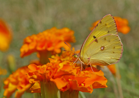 clouded: pale clouded yellow butterfly on marigold flower Stock Photo