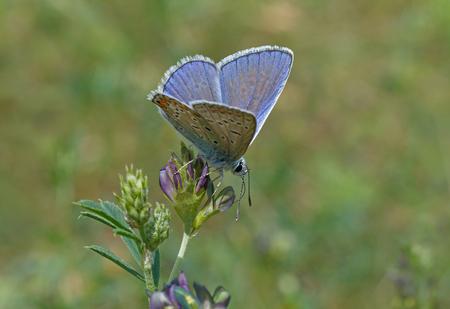 eros: common blue butterfly on wild flower Stock Photo