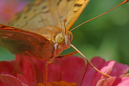 close up eyes: close up of eyes of butterfly