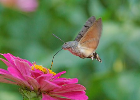 hawk moth flying above purple zinnia flower Stock Photo
