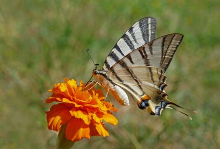 Scarce Swallowtail butterfly on marigold flower
