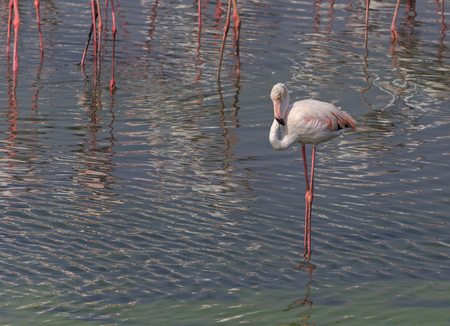 ras: Greater flamingo in Ras Al Khor wildlife sanctuary Stock Photo