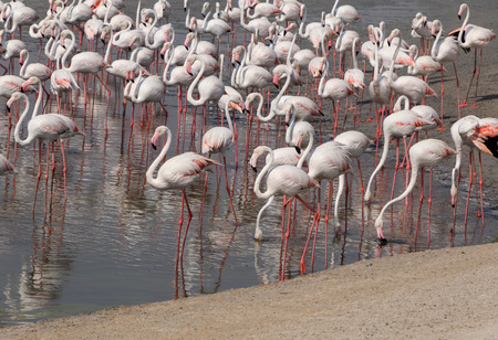 ras: Greater flamingos in Ras Al Khor wildlife sanctuary Stock Photo